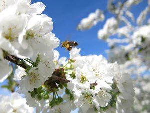 Abeille butinant une fleur de cerisier