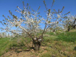 Cerisier surgreffé