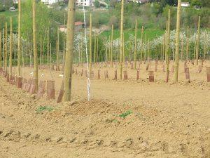 Arbres en axe à la plantation